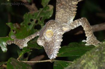 Tokek raksasa leaftailed (Uroplatus fimbriatus) di Madagaskar