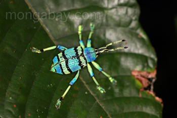 Bennett's blue weevil
