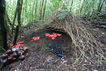 Vogelkop Bowerbird pondok dengan buah merah dan item lainnya untuk menarik betina