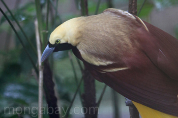 Lesser Bird of Paradise