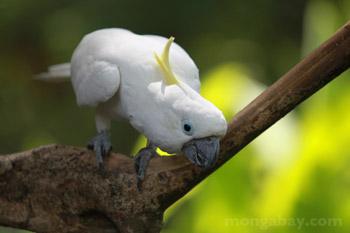 Berkacamata Owl di Belize