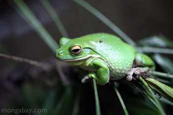 White's Tree Frog in New Guinea
