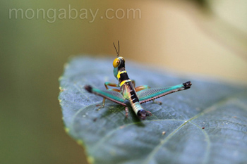 Black, turquoise, yellow, orange, brown, and pink grasshopper