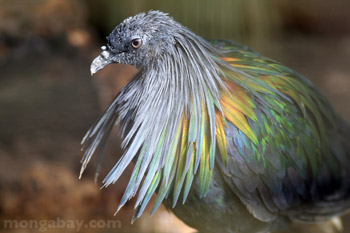 Nicobar Pigeon