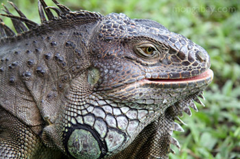 	Iguana hijau (Iguana iguana)	