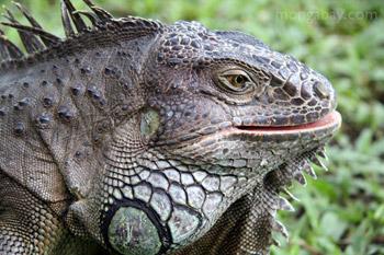 Iguana hijau (Iguana iguana)
