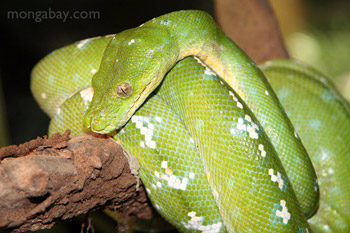 	Hijau pohon python (Morelia viridis)	