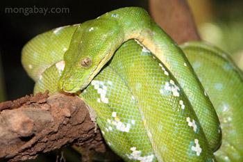Hijau pohon python (Morelia viridis)