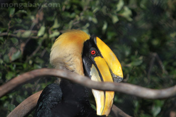 Besar Hornbill
