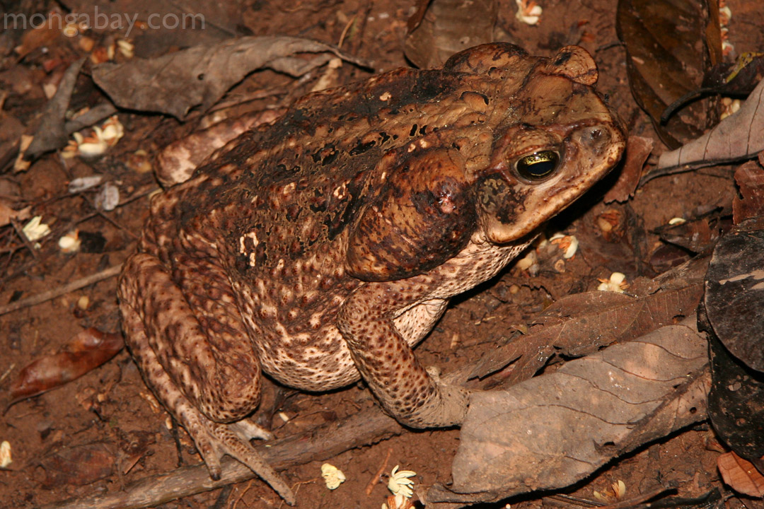 Cane toad in Peru