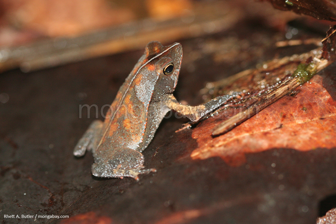 Leaf toad in Colombia