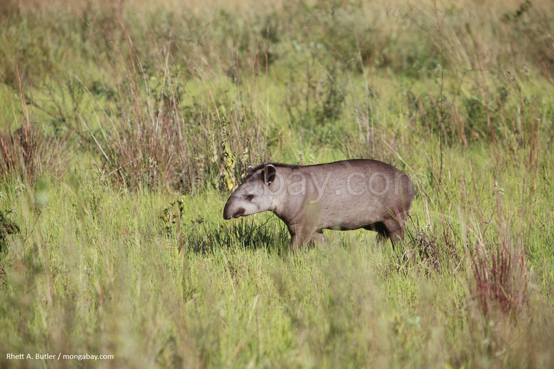 Tapir di Brasil