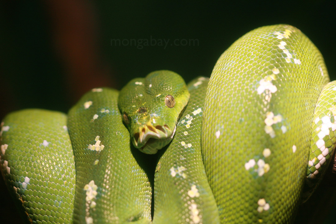 Green tree python from Southeast Asia