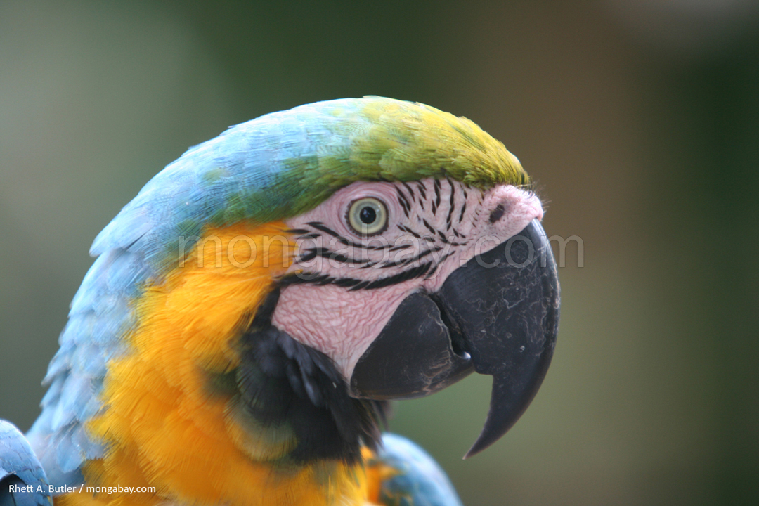 Blue and gold macaw in Colombia