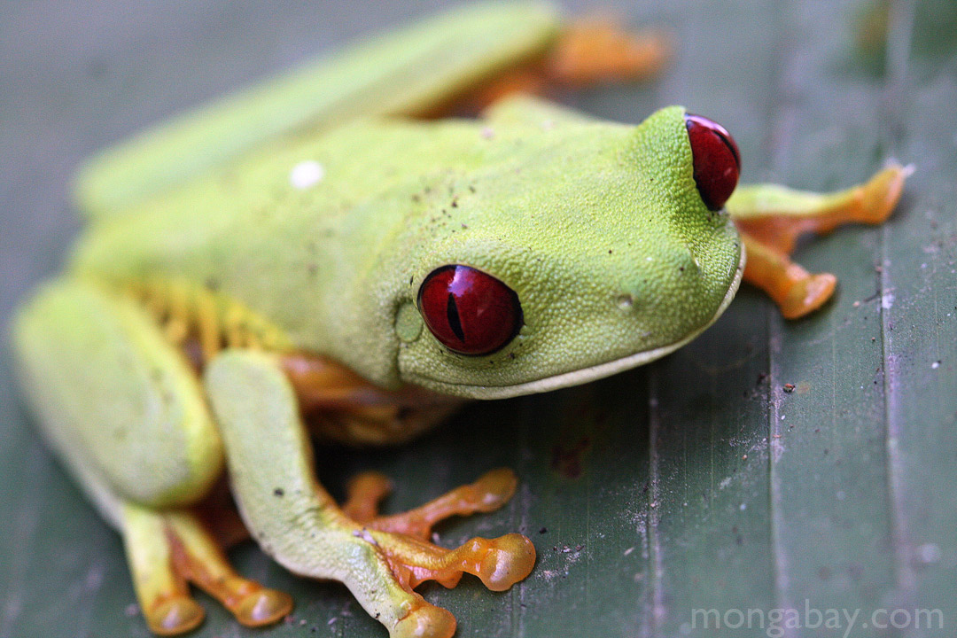 Red-Eyed Tree Frog in Manuel Antonio National Park, Costa Rica