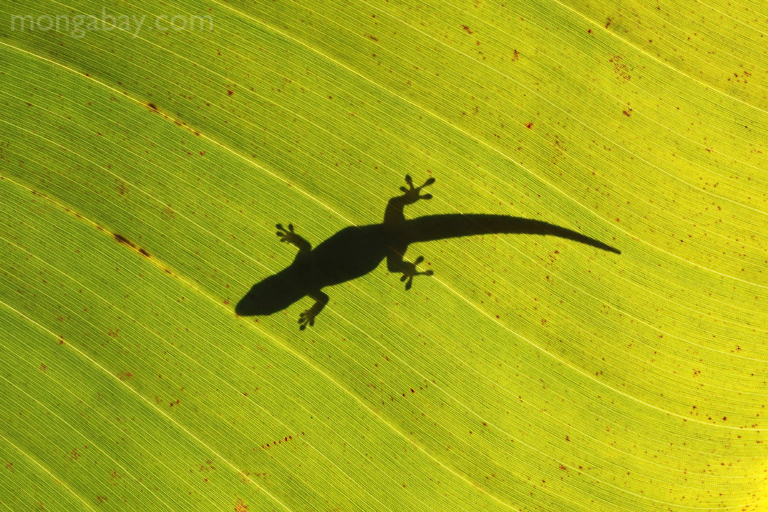 Shadow of a day gecko on a sunlit leaf