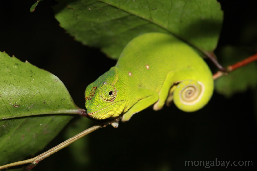 Petter's Chameleon (Furcifer petteri) 