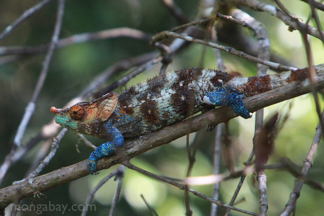 Blue, green, orange, white, and brown Calumma crypticum chameleon