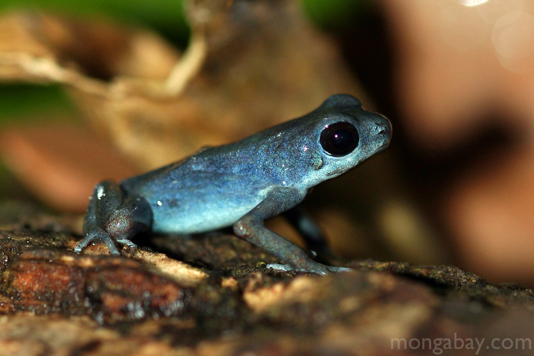 Blueberry poison arrow frog in Panama