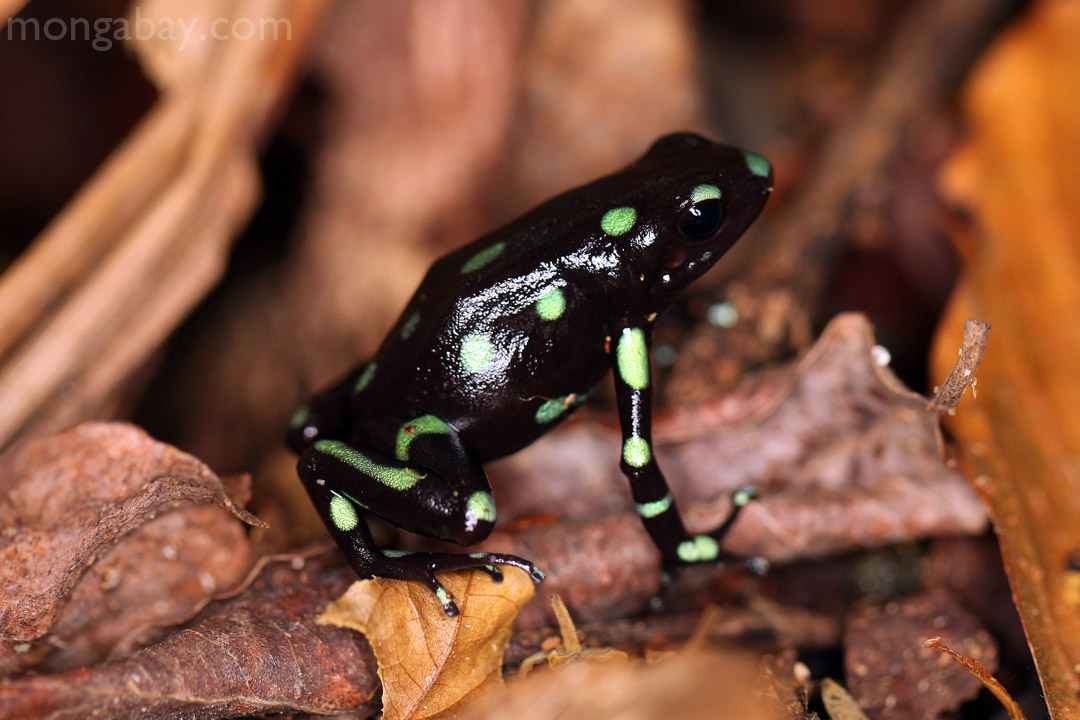 Green and Black Poison Dart Frog on Barro Colorado, Panama