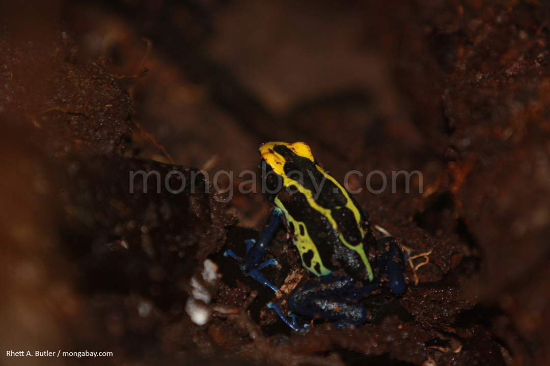 Yellow and blue poison arrow frog in Suriname