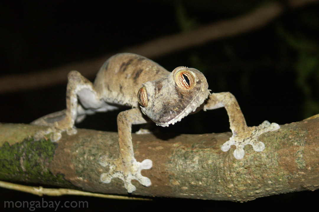 Giant leaf-tail gecko in Madagascar