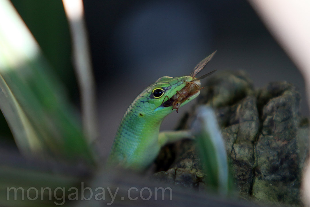 Green lizard eating an insect
