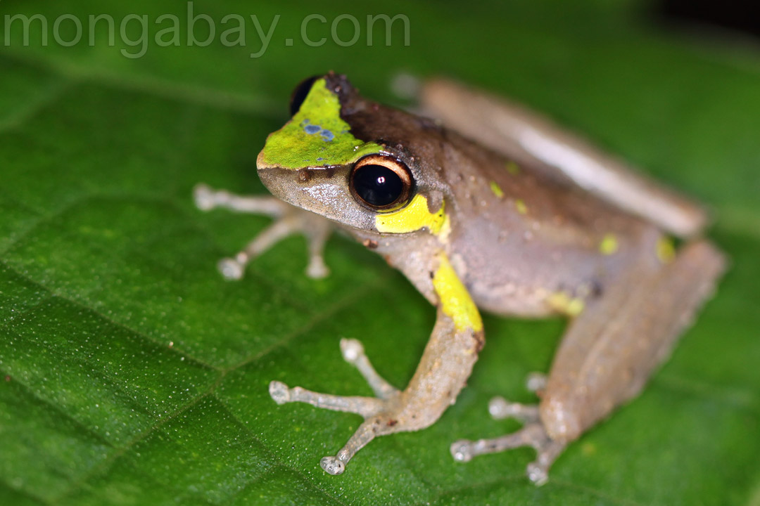 Brown frog with neon green and blue markings in Indonesian New Guinea