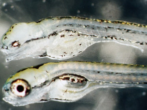 Model Fish