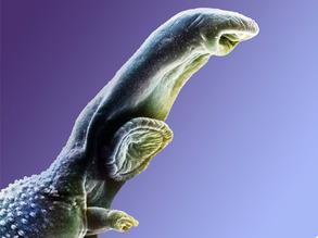Schistosome Surge