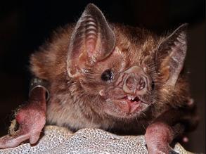 Rabid Vampire Bats