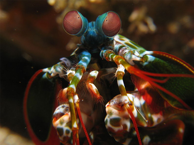 Prying Mantis Shrimp