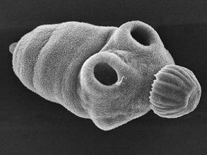 Targeting Tapeworms