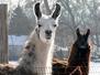 Llama Pharma