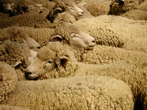 Leap Frogging Sheep