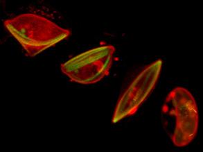 Malaria Morphs