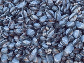 Mussel Power