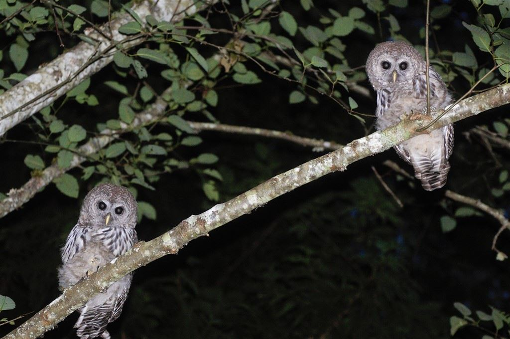 What a rare siting these 2 beautiful owls are seen in a tree on the property.