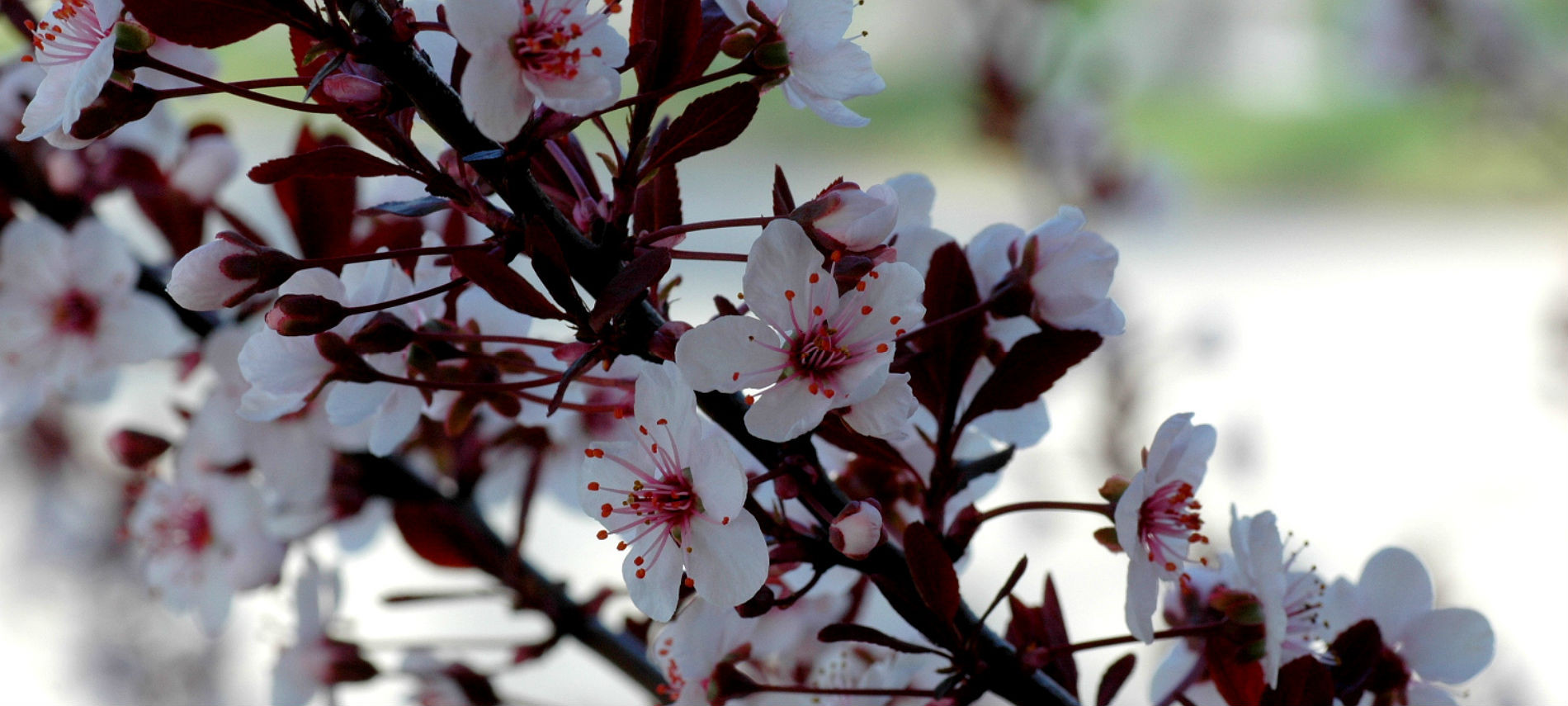 Close-up of cherry tree blossoms: white flowers with bright red stamen