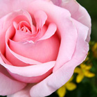 rose_photogallery_link