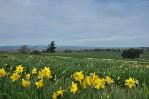 Amity Daffodil Festival