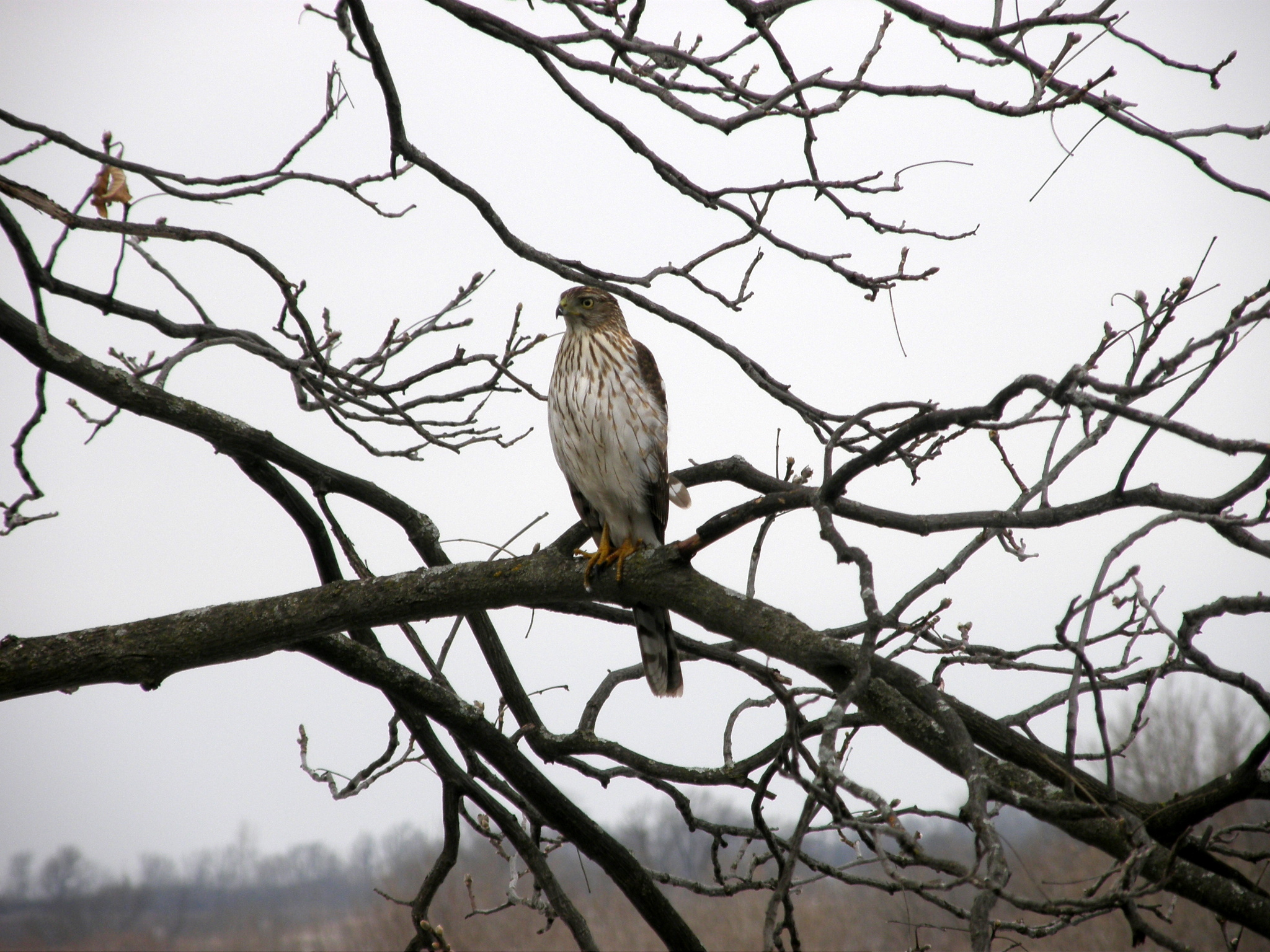 Coopers Hawk watching the Bird Feeders at The Speckled hen Inn