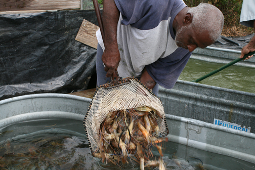 Shrimp Harvesting