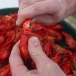 Peeling Boiled Crawfish