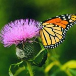 Monarch butterfly feeding on a pink plant
