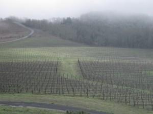 vineyard pruned 001