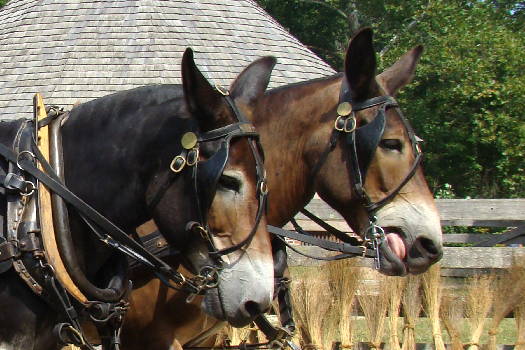Mount Vernon (KY) United States  city photos gallery : Washington helped promote the use of mules in the United States