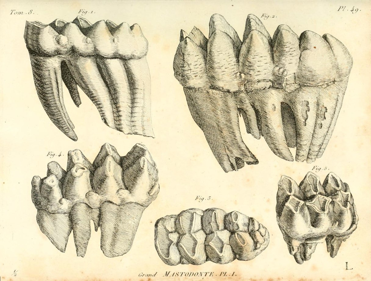 Eighteenth century paleontological studies of excavated mastodon teeth.  - Sur le grande Mastodonte, Cuvier, G. 1806.