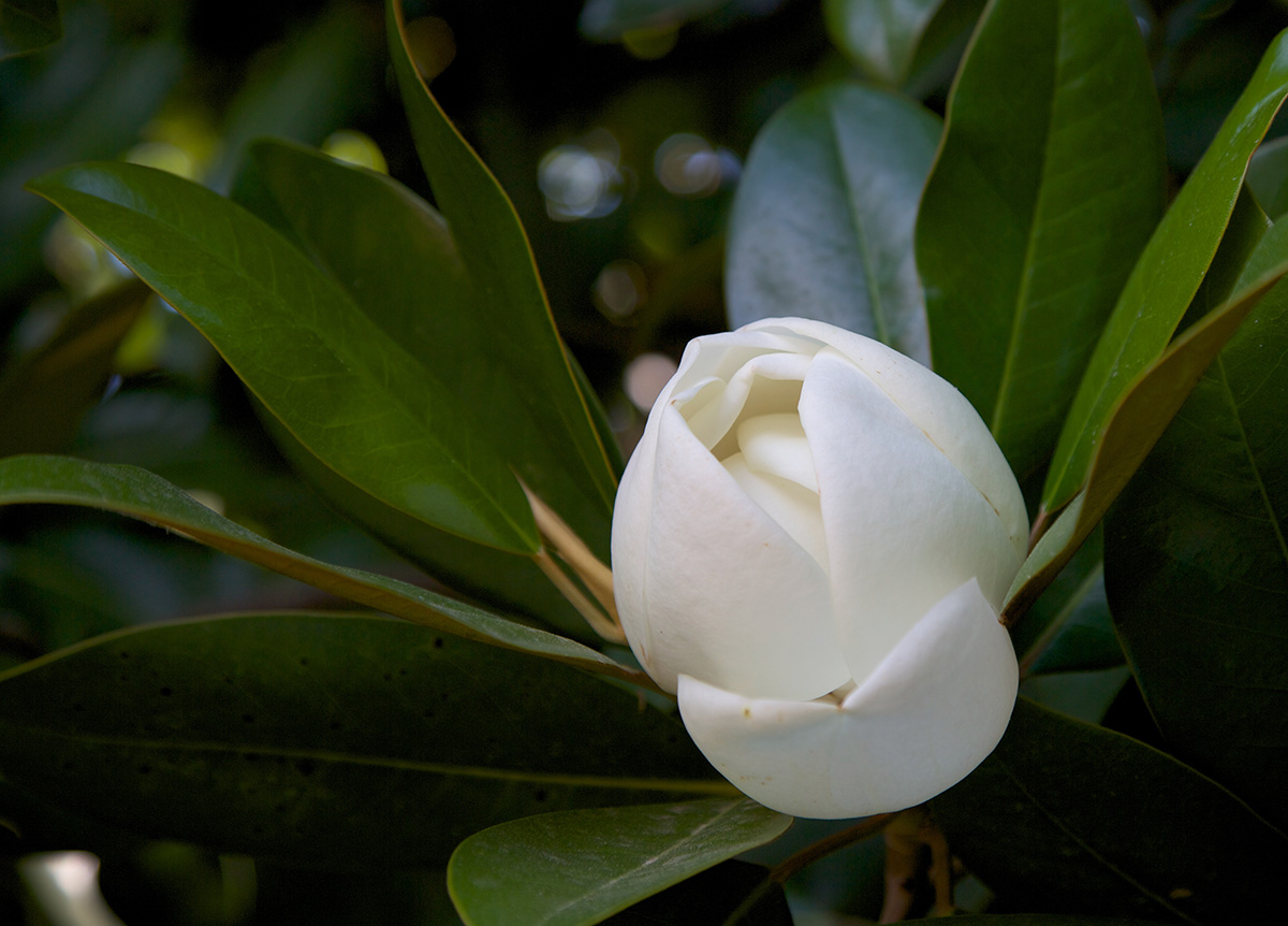 Southern Magnolia Flowers (MVLA)
