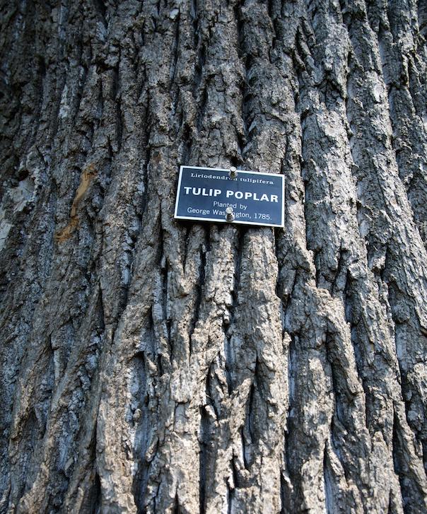 Tulip Poplar Tree